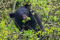 An Asian Black Bear (Ursus thibetanus, 黑熊) munching on leaves in a tree, 2015-04-16,  Tangjiahe Nature Reserve, Sichuan Province, China