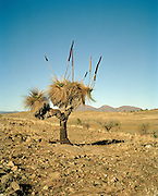 Ancient grass tree in the Flinders Ranges, Australia