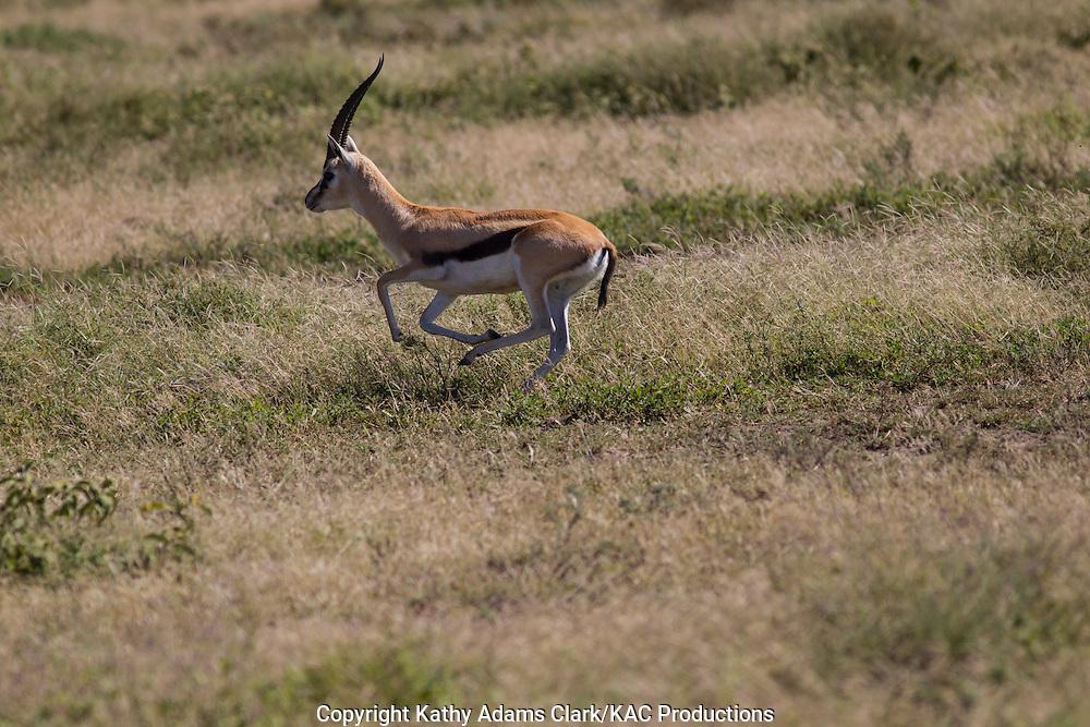 Thomson's Gazelle, Eudorac thomsonii, running, leaping, through grass, Ndutu, Ngorongoro Conservation Area, Tanzania, Africa.