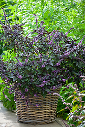Basil 'African Blue' in a woven willow basket. Ocimum