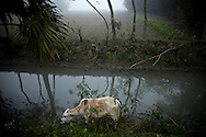 A cow by a canal in Chaar Fassion.?This area in the south of Bangladesh has been called ground zero of climate-change due to heavy river and ocean erosion. The lowlying area is also hugely affected by cyclones and rising sea-levels...By the Mouth of Ganges, at the Bay of Bengal is the Island of Bhola. This home of about two million people is considered to be ground zero of climate change. Half the island has disappeared in the past 40 years, and according to scientists the pace is not going to slow down. People pack up and leave as the water get closer. Some to a nearby embankment, while those with enough money move further inland, but for most life move on until the inevitable. It's always about survival for the people in one of the worlds poorest countries...Photo by: Eivind H. Natvig/MOMENT