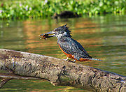 Giant Kingfisher (Megaceryle maxima) with prey in its large bill, Lake Manyara, Tanzania, East Africa.