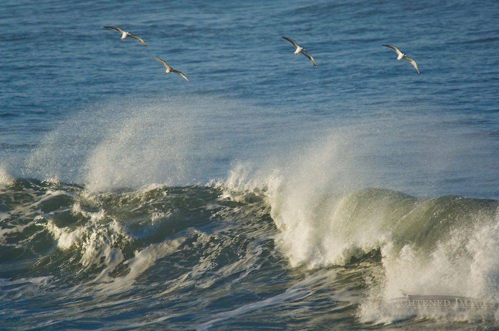 Seagulls flying over ocean waves, San Mateo County coast, California