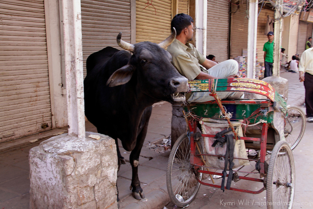 Asia, India, New Delhi. Cow and rickshaw in Old Delhi.