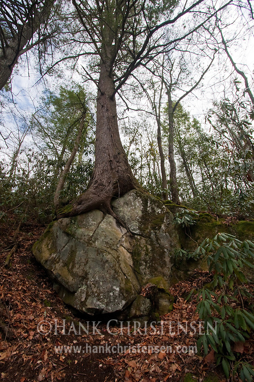 Tree grows out of solid rock, Great Smoky Mountains National Park