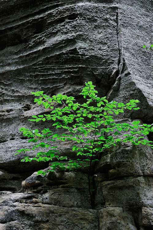 Sandstone Wall and beech tree (Fagus sylvatica), Mullerthal trail, Mullerthal, Luxembourg
