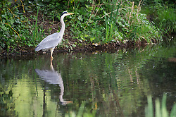 © Licensed to London News Pictures. 01/05/2019.<br /> Sidcup,UK. A Heron looking for breakfast in the river Cray at Footscray Meadows, Sidcup, South East London this morning. Photo credit: Grant Falvey/LNP