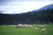 Sheep committing an indecent act,south island New Zealand. 1999