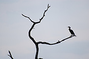 This is a photograph of a Double-crested Cormorant on a bare and gnarled tree.  It was taken at Green Cay Nature Center in Boynton Beach, Florida.