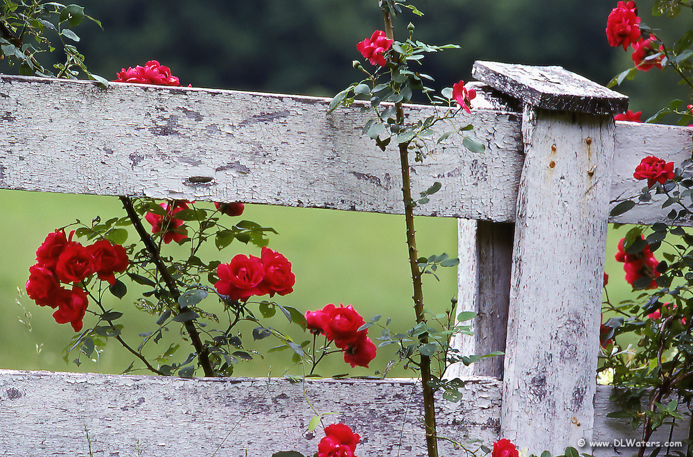 An old fence with roses growing around it.