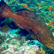 Black Grouper inhabit reefs in Tropical West Atlantic; picture taken Key Largo, FL.
