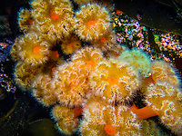 Underwater photo, Plumrose (Sea) Anemone, Freshwater Bay, Chichagof Island, Inside Passage, Southeast Alaska USA.