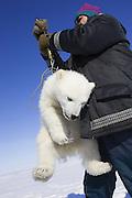 Polar Bear<br /> Ursus maritimus<br /> Polar bear biologist Nick Lunn weighs a  3-4 month old cub <br /> Wapusk National Park, Canada