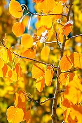 """Autumn Aspen Leaves 2"" - Photograph of orange and yellow aspen leaves, shot in Autumn."