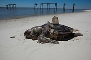 An unprecedented number of dead young  Kemp's Ridley and Loggerhead sea turtles,  have washed up on the shores of Mississippi along the Gulf of Mexico starting almost a year after the BP oil spill. <br /> Test are being done on the high number of turtle and dolphin corpses found on the beaches but results have not been released.///Dead sea turtle on the beach in Pass Christian Mississippi.
