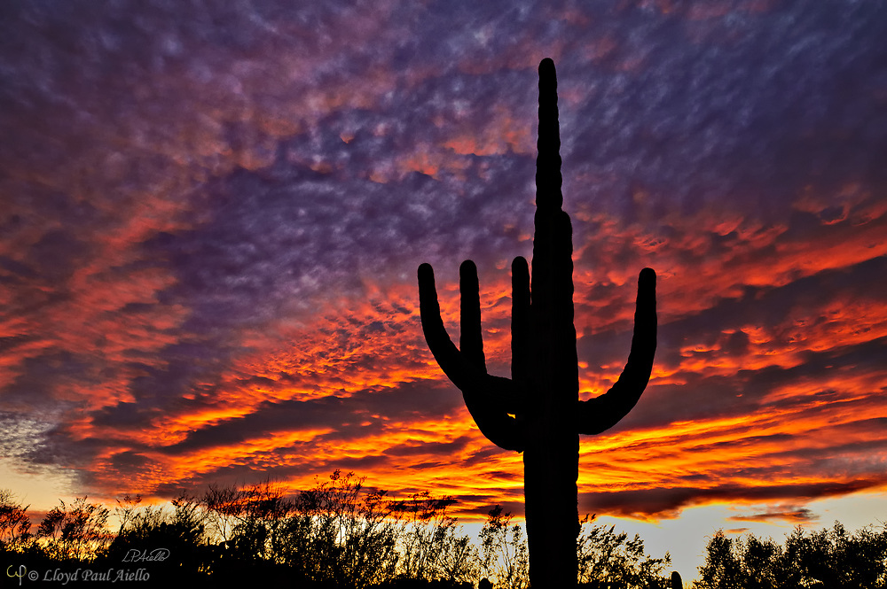 A Saguaro cactus (Carnegiea gigantea) stands silhouetted against a stormy sunset within the 57,930 acre Saguaro National Park in Arizona.  Composed of 85% water, these 50-foot-tall giants can weigh over 8 tons and are the largest member of the cactus family in the United States. Their skin is smooth and waxy with stout, 2-inch spines clustered on their ribs. The outer pulp can expand like an accordion when water is absorbed, increasing the diameter of the stem and raising its weight by up to a ton.  <br /> <br /> The Saguaro generally takes 47 to 67 years to attain a height of 6 feet, and can live for 150 &ndash; 200 years.  During that lifetime, a single cactus will produce 40 million seeds; however, in its harsh native environment, only one of these seeds will survive to replace the parent plant.  Indeed, young Saguaro&rsquo;s must start life under a tree or shrub to prevent them from desiccating.  <br /> <br /> On this particular winter evening, the heavy storm clouds parted to the west shortly before sunset.  As the sun dropped below the horizon, it lit the underside of the stormy sky causing it to blaze with color for less than 5 minutes before the spectacle vanished even more quickly than it had appeared.