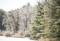 Deep freeze coats trees with a layer of ice.  Karen Bobotas for the Laconia Daily Sun