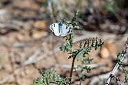 Euchloe h. hyantis - California Marble