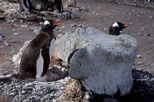 Gentoo Penguin, (Pygoscelis papua) Nesting near whale vertebrae bone. Aitcho Island. Antarctica.