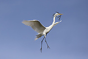 Great Egret <br /> Ardea alba<br /> Adult carrying nesting material<br /> Sonoma County, California