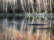 Located along the north Oregon coast, alder trees are reflected in a beaver pond on a still fall day. In another month, the leaves will have fallen and ice will occasionally form.