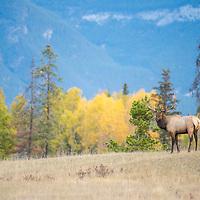 bull elk standing in grassy meadow