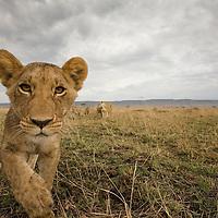 Africa, Kenya, Masai Mara Game Reserve,  Lion Cub  (Panthera leo) stalking toward remote camera on savanna