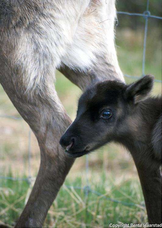 Simle og kalv. Southsami reindeer herding in Mid-Norway.