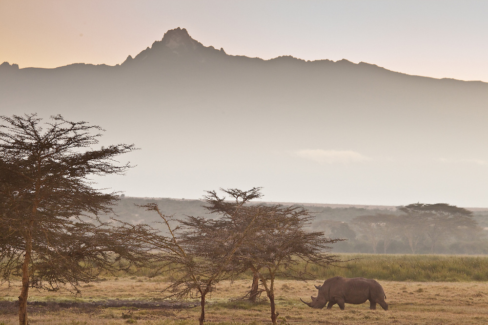 A white rhino walks in front of Mount Kenya in Solio, Kenya