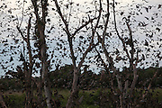 The annual bat migration to Kasanka National Park. Up to 8 million straw coloured fruit bats converge on a small patch of forest to feast on the fruit trees. The bats remain in the area from mid November to mid December and are thought to have travelled from around the continent as far away as Ghana and South Africa. .Kasanka National Park. Northern Zamibia. Africa. © Pictures by Zute and Demelza Lightfoot.