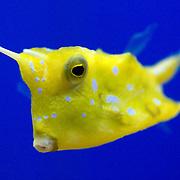 Longhorned Cowfish, Lactoria cornuta