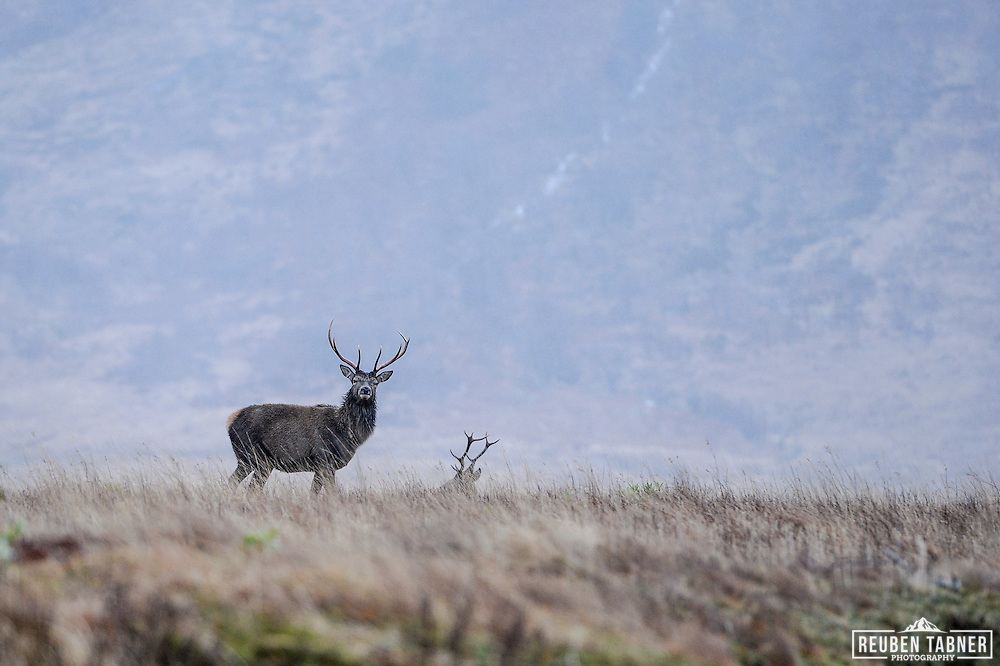 The monarch of the glen, a red deer stag stands guard on a cold winters day in Glen Etive, Scotland.