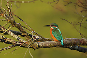 Male kingfisher on a tree at Shapwick Heath in Somerset during a very cold spell. Featured in the Simon King article about the Somerset Levels in the October 2010 issue of the BBC Wildlife magazine.