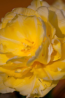 Switzerland. Springtime. Close-up of the popcorn tulip flower fully opened.