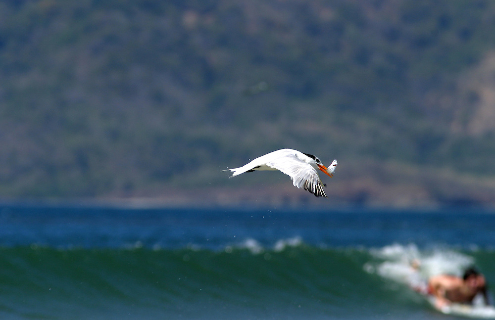 A tern flies off after having caught a fish on the beach in Tamarindo, Costa Rica