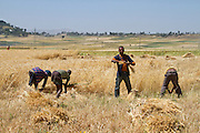 Men harvesting wheat with a sickle. Photographed in Ethiopia
