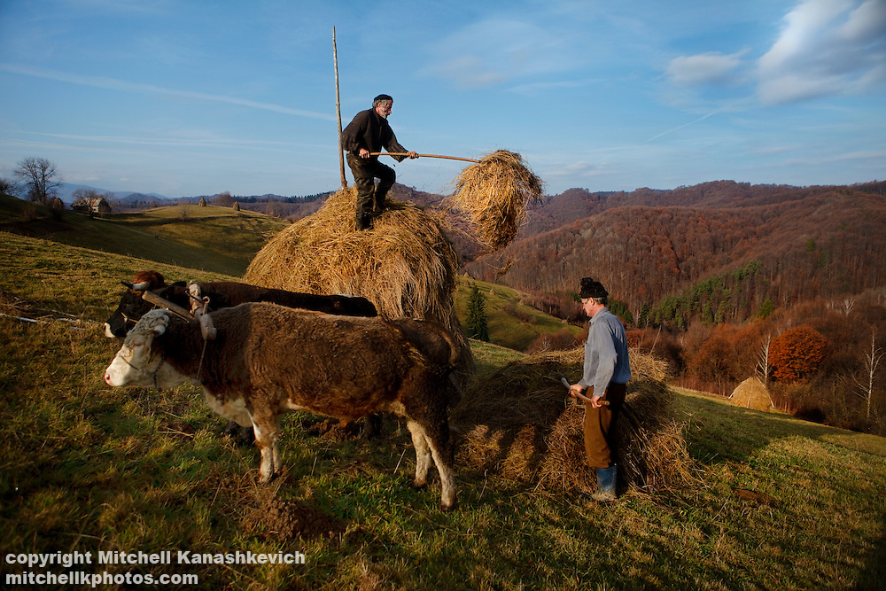 Rural Romanian men unstacking hay to feed the cattle through the winter. Rural Transylvania