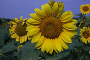 Sunflowers growing in a field in John's Island, SC