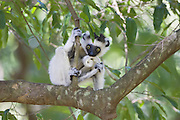 Verreaux's Sifaka <br /> Propithecus verreauxi<br /> Berenty Private Reserve, Madagascar