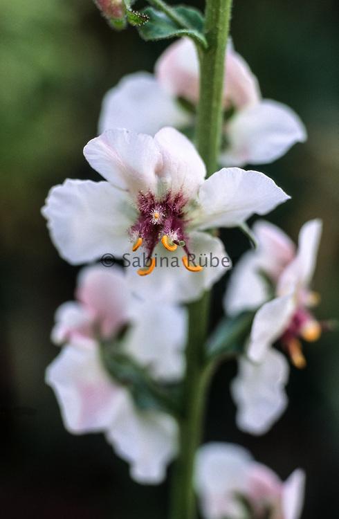 Verbascum blattaria var. album - moth mullein
