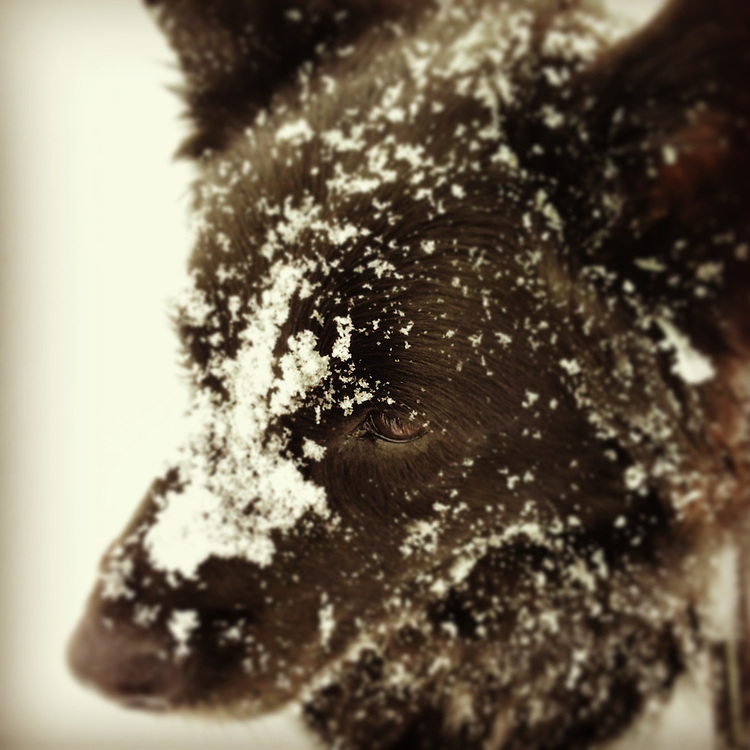 Black Dog's face covered in snow