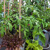 Tomatoes, leaf lettuces and other edibles and ornamental plants growing in an inventive urban rooftop container garden with a wide variety of edible plants in an even wider variety of contianers.