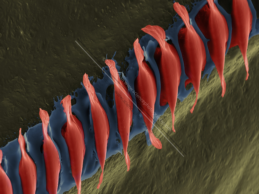 Scanning electron microscope  image of the sound producing comb of the Field Cricket (Gryllus pennsylvanicus).  This specimen was collected in the Finger Lake Region of New York State.  The comb is rubbed against the underside of the opposite wing.  Only male crickets produce the characteristic sound.  The magnification was  513x and the field of view of this image is  25um wide.