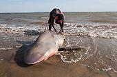 Traditional shark fishing