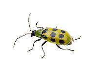 Spotted Cucumber Beetle (Diabrotica undecimpunctata)<br /> CALIFORNIA: Kern Co.<br /> Stine Cove on Lake Isabella; near Porterville<br /> 10.June.2012<br /> J.C. Abbott #2600 &amp; K.K. Abbott