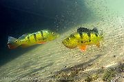 A pair of Peacock Bass, Cichla sp., guards its brood in a Miami, FL freshwater lake. This tropical freshwater species, also known as the Peacock Cichlid, was intentionally introduced in Florida in the mid 1980s from South America to control the Tilapia population, another invasive species. Throughout its native range (and in Florida) it's a prized sportfish.