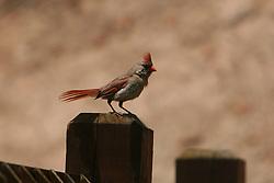 Female  Northern Cardinal (Cardinalis cardinalis) in Virginia