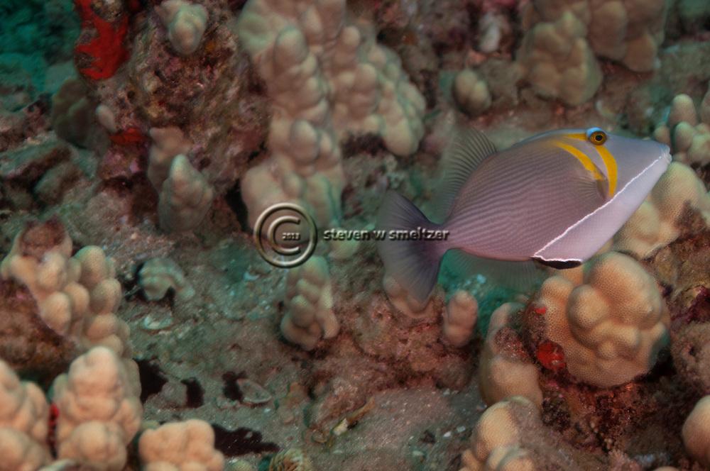 Lei Triggerfish, Sufflamen bursa, (Bloch & Schneider, 1801), Maui, Hawaii