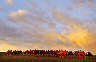 Mongolei, MNG, 2003: Kamel (Camelus bactrianus). Herde vor einem Abendhimmel, Süd-Gobi. | Mongolia, MNG, 2003: Camel, Camelus bactrianus, herd under a red glowing evening sky, South Gobi. |