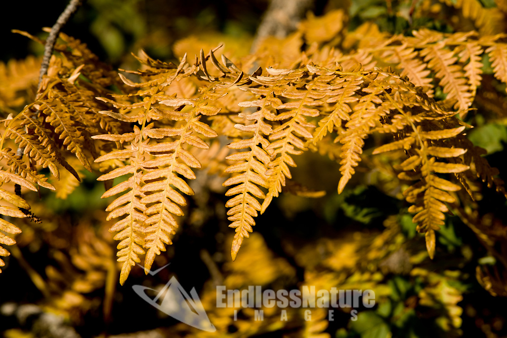 A fern in the fall change from green to yellow this fern is found around the water and geysers of Yellowstone National Park.